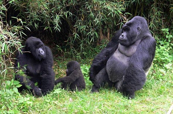 乌干达和卢旺达的大猩猩野生动物园