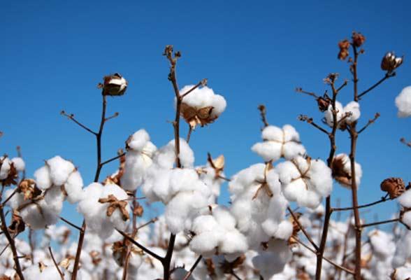 权威数据首次证实有机棉花的确大有益处