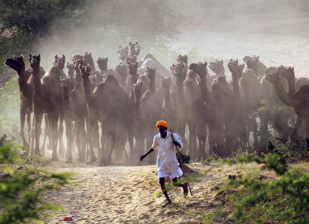 a-camel-herder-walks-his-camels-at-pushkar-fair-in-the-desert-indian-state-of-rajasthan-on-october-28-2014-thousands-of-animals-mainly-camels-are-brought-to-the-fair-to-be-sold-and-traded