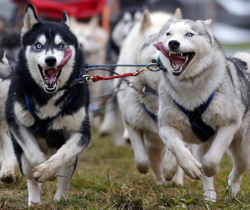 a-musher-races-with-his-dogs-during-the-european-championship-sled-dog-race-in-venek-november-22-2014