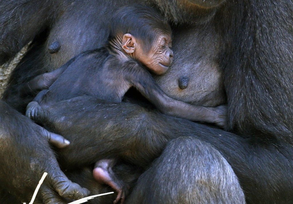 a-western-lowland-gorilla-named-mbeli-holds-her-baby-in-their-enclosure-at-sydneys-taronga-zoo-october-31-2014-the-baby-gorilla-was-born-three-days-prior-and-was-the-first-sired-by-the-zoos-new-silverback-who-arrived-from-france-in-2012