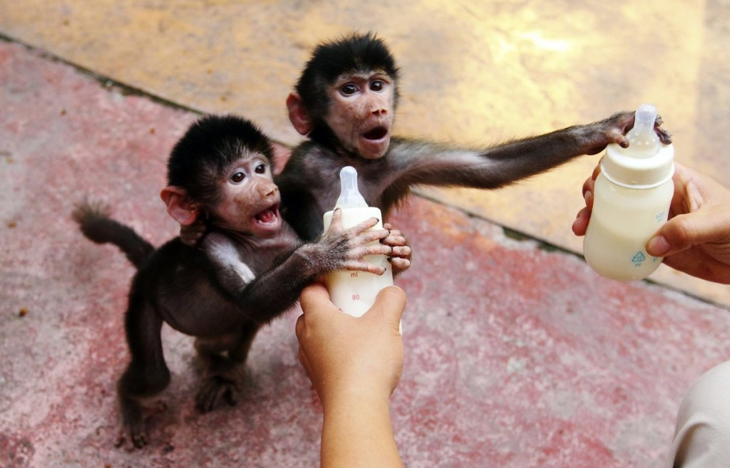 baby-hamadryas-baboons-reach-for-milk-bottles-as-a-zookeeper-feeds-them-at-a-zoo-in-hangzhou-zhejiang-province-september-17-2014