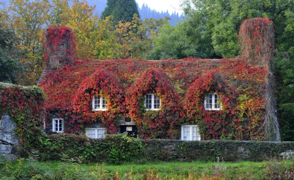 the-virginia-creeper-plant-covering-a-15th-century-cottage-housing-the-tu-hwnt-ior-bont-tearoom-in-llanrwst-north-wales-has-turned-to-copper-red-as-autumn-approaches-in-this-photo-dated-september-23-2014