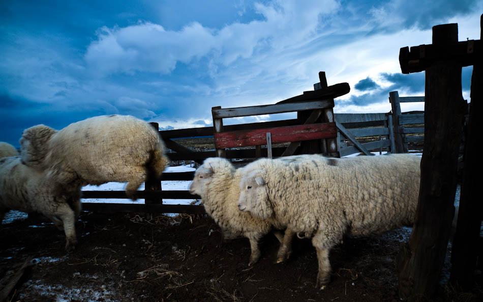 针对PETA公布的绵羊被虐待视频,Patagonia 和  Stella McCartney 相继表态