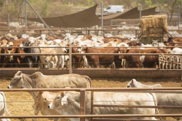 中国公司竞购韩国大小的澳洲私人养牛场被澳政府拒绝