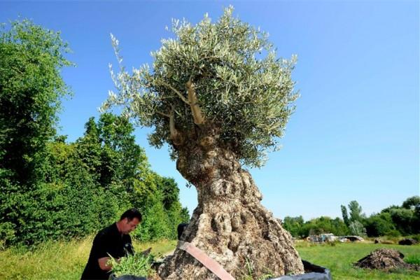 来自南欧的百年橄榄树成为德国富裕家庭的新宠