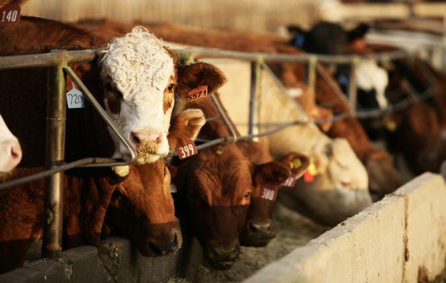 """取消牛肉出口限制,阿根廷再造 """"牛肉王国"""""""
