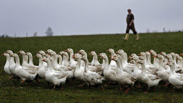 """杜绝从活鹅身上拔毛,Moncler 加强监管羽绒供应商,保障""""鹅福利"""""""