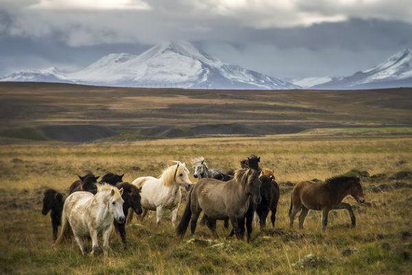 冰岛马:世界上最纯正的马种,是如何成为国家级奢侈品牌的?