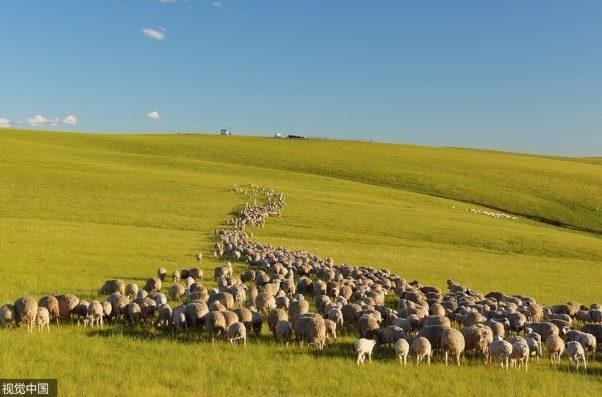 蒙古羊绒产业遭遇困境:极端天气频繁,产量过剩、价格下滑