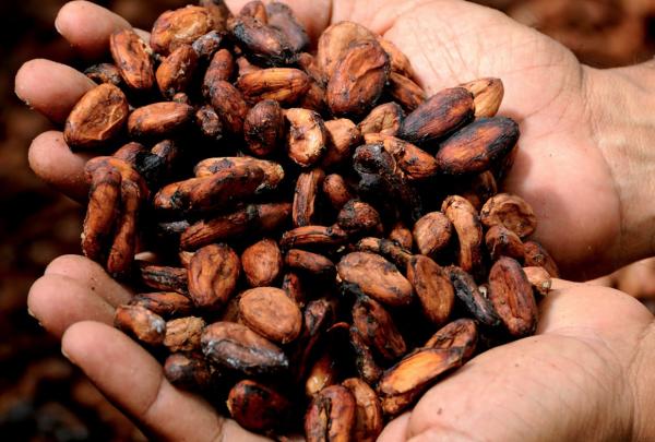 巧克力也会灭绝吗?为应对气候变化对可可树的危害,玛氏集团联手加州伯克利大学研发基因技术