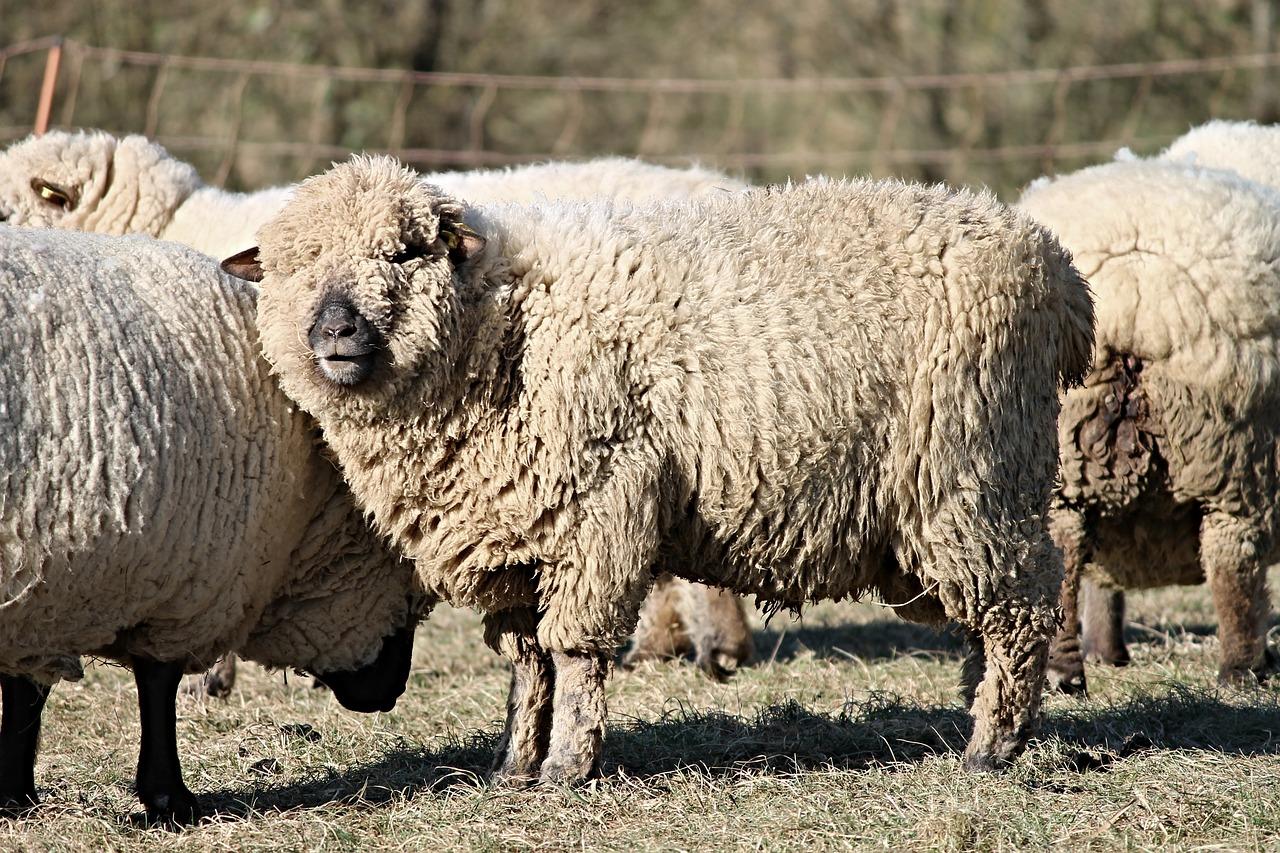 羊毛价格创下历史新高,为何羊毛大国澳大利亚却高兴不起来?