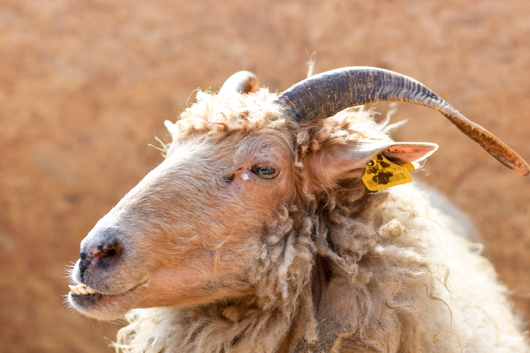 """美国善待动物组织 PETA 发布南非农场虐待动物视频,促使全球70多个品牌和零售商宣布拒绝""""安哥拉山羊毛"""""""