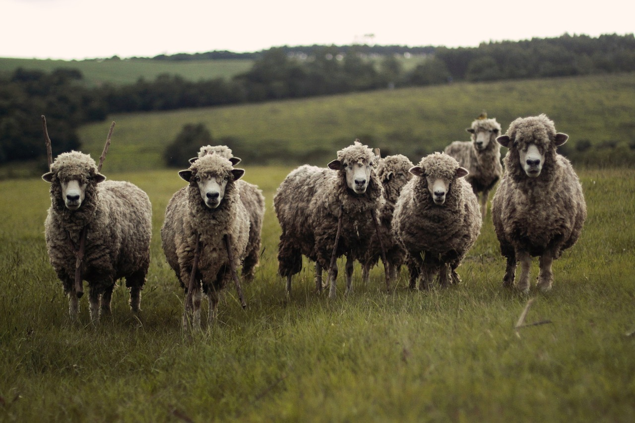 受中美贸易战影响,澳大利亚羊毛价格创15年来最大单日跌幅