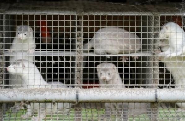 丹麦水貂养殖场发现变异新冠病毒,将捕杀1700万只水貂